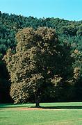 Deutschland, Germany,Baden-Wuerttemberg.Schwarzwald.Bei Zell am Hamersbach, Großer Baum (Linde) auf Wiese.Road, tree in meadow...