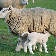 Nederland Groene Hart Gemeente Nieuwkoop 29 maart 2011 20110311 Jonge lammetjes in de wei, begin van de lente, lenteweer, in het voorjaar. Little lambs in field in springtime Foto: David Rozing