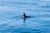 A single Orca whale surfaces for air in the waters just off Lime Kiln State Park on San Juan Island, Washington, USA.