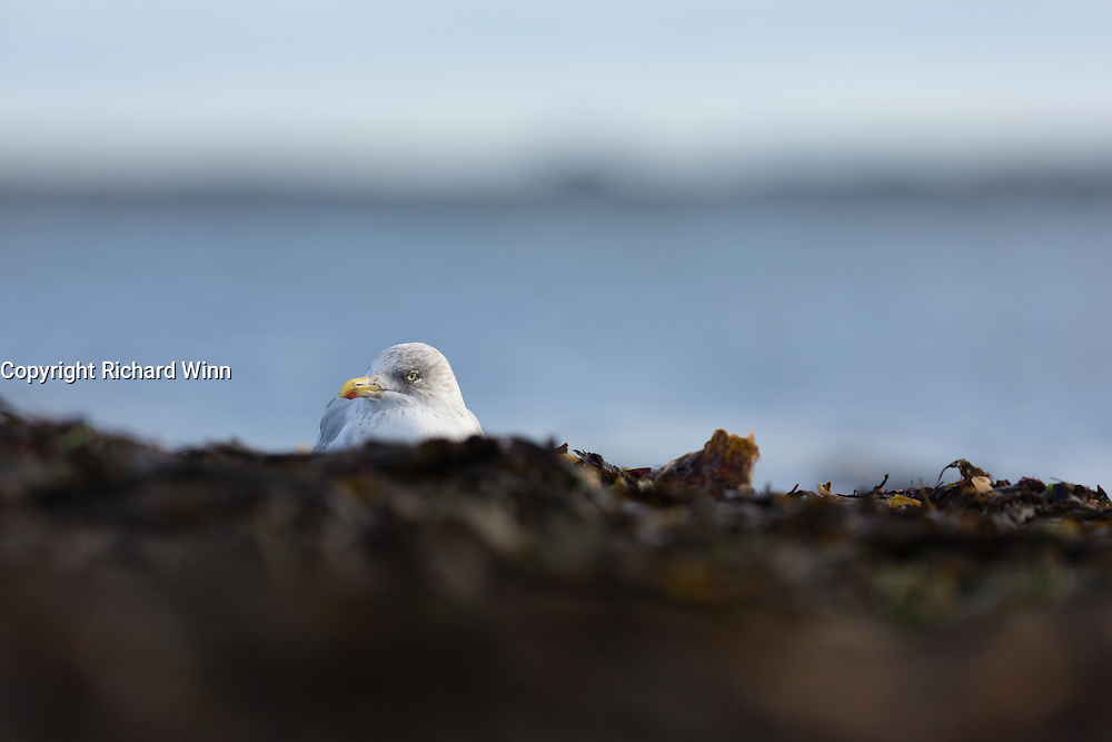 Herring gull resting on the pebble beach at Chanonry Point in the Moray Firth.