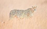 Cheetah standing alertly in tall dry grass in soft morning light in Kenya, Africa (photo by Wildlife Photographer Matt Considine)