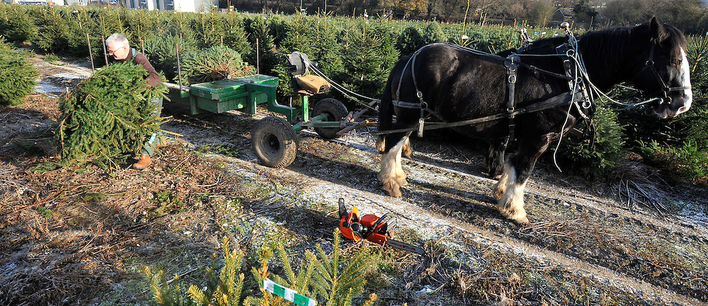 © under license to London News Pictures. 28/11/2010. Stephen Jones a traditional woodsman starts the harvest of some of the 30,000 Christmas Trees at The Christmas Tree Farm in Chesham. Mr Jones has worked at the farm for ten seasons along with his two shire horses Bassie (19) and Morfa (12). Together they gather thousands of trees from the farm before delivering them to be sold by staff at the farms shop. Staff at the Christmas Tree Farm open for business a week early today (Sunday) to take advantage of the good Christmas cheers brought on by the Winter Weather. The Christmas Tree Farm, Chesham,  have been retailing Christmas trees for 22 years and growing them for 18 years. Photo credit should read: Stephen Simpson/LNP
