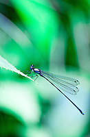 Blue dragonfly sitting on a leaf in the jungle.