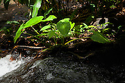 Taro plant, Napali Coast, Kauai, Hawaii