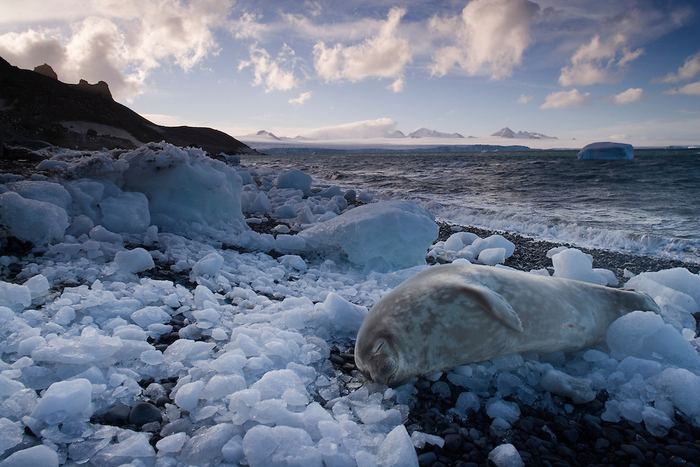 Antarctica, Weddell Seal (Leptonychotes weddellii) resting amid small pieces of brash ice on beach at Brown Bluff along Peninsula on sunny afternoon