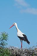 White Stork resting at nest