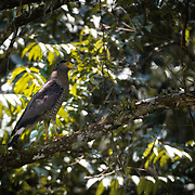 The crested serpent eagle (Spilornis cheela) is a medium-sized bird of prey that is found in forested habitats across tropical Asia.