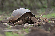 SAN CRISTOBAL, GALAPAGOS ISLANDS, ECUADOR: August 17, 2005 -- GALAPAGOS ISLANDS DAY 1  -- A Volcán Darwin Tortoise (Geochelone nigra microphyes) makes its way across field on San Cristobal Island August 17, 2005 on Day 1 in the Galapagos Islands...Steve McKinley Photo.