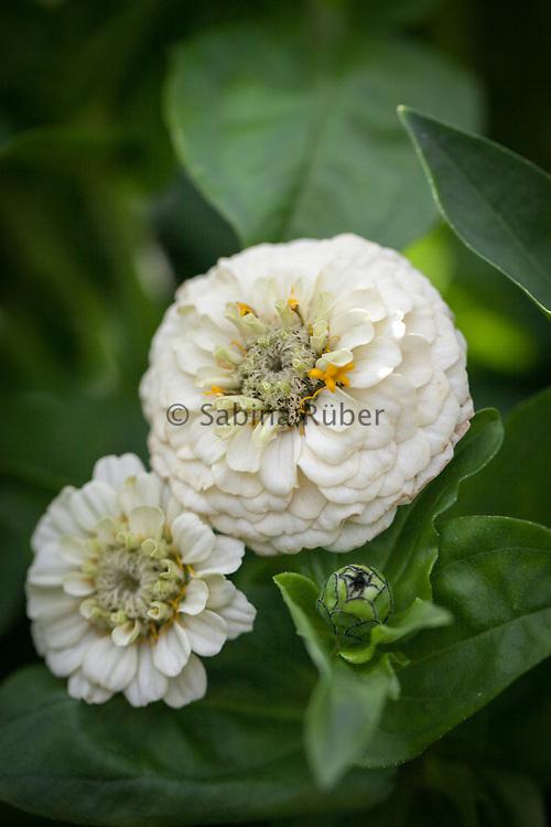 Zinnia elegans 'Lilliput White' - elegant zinnia