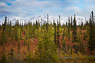 An autumn spruce tree forest and mountain view in Wrangell St. Elias National Park.