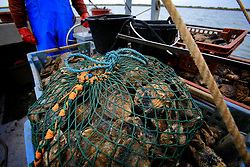 UK ENGLAND WEST MERSEA 17SEP09 - Oysterman William Baker dredges for native oysters (ostrea edulis) aboard his boat, the Virley Native off the Essex coast...jre/Photo by Jiri Rezac / WWF UK..© Jiri Rezac 2009