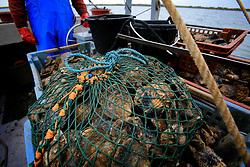UK ENGLAND WEST MERSEA 17SEP09 - Oysterman William Baker dredges for native oysters (ostrea edulis) aboard his boat, the Virley Native off the Essex coast...jre/Photo by Jiri Rezac / WWF UK..© Jiri Rezac 2009