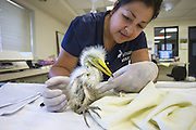 Great Egret<br /> Ardea alba<br /> Isabel Luevano, Rehabilitation Technician, examining one-week-old chick<br /> International Bird Rescue, Fairfield, CA<br /> *Model release available