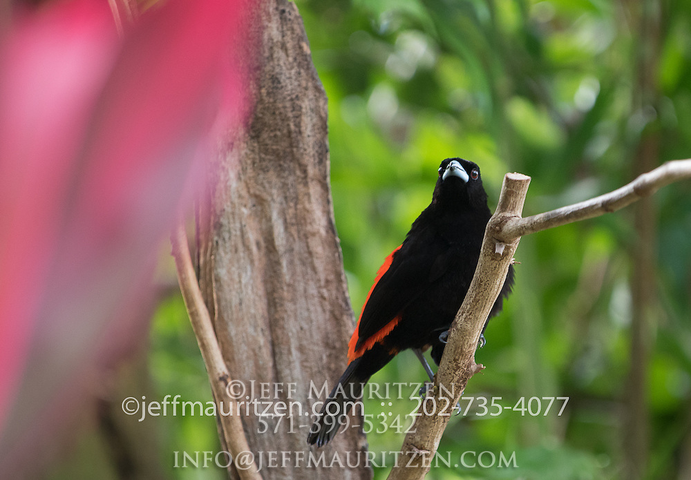 A male cherry tanager perches on a branch in Golfo Dulce, Costa Rica.