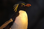 19 October 2010: Rockhopper Penguin. St. Louis Zoo, St. Louis Missouri (Photo by Alan Look)