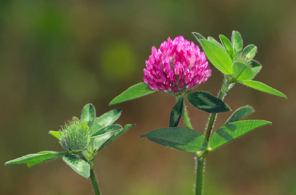 Red Clover,<br /> Trifolium pratense
