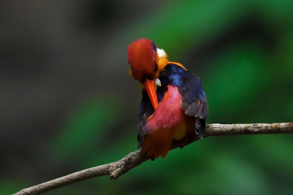 Oriental dwarf kingfisher, Ceyx erithacus, photographed from behind at Tongbiguan nature reserve, Dehong Prefecture, Yunnan Province, China