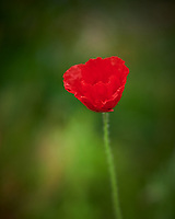 Red Poppy flower just opened. Image taken with a Nikon D850 camera and 105 mm f/1.4  lens (ISO 140, 105 mm, f/1.4, 1/250 sec).