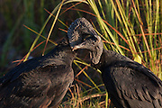Despite their poor reputation as carrion eaters, and connotation with human squabbling and greed, these vultures show their tender side as they gently preen. Morning, Everglades National Park, Florida.