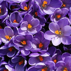 Iridaceae, Lissenfamilie