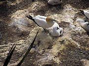 New Zealand, Cape Kidnappers, Gannet colony Australasian Gannet (Morus serrator)