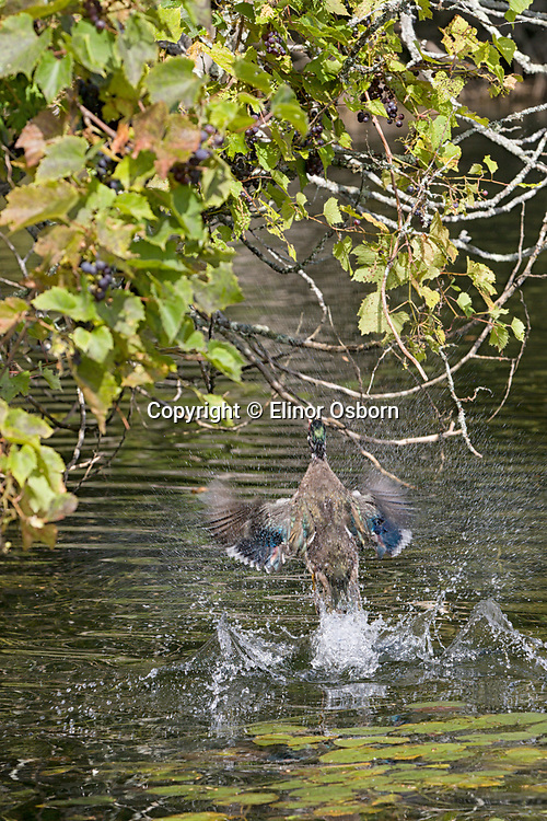 wood ducks jumping up to get grapes