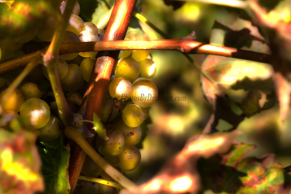 Green grapes enjoying a warm harvest afternoon out at The Grange of Prince Edward County and Estate Winery.