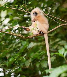 A red leaf monkey eats leafs in Danum Valley Conservation Area, on August 5, 2019 near Lahad Datu city, State of Sabah, North of Borneo Island, Malaysia. Palm oil plantations are cutting down primary and secondary forests vital as habitat for wildlife including the critically endangered red leaf monkeys. Photo by Emy/ABACAPRESS.COM