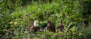 It is unusual to get so close to a bald eagle and her babies.