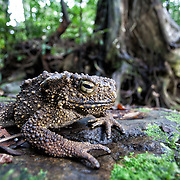 A giant river toad, Bufo asper, by a stream in the rainforest