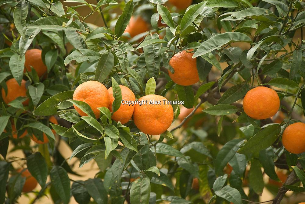 organes on an Orange Tree