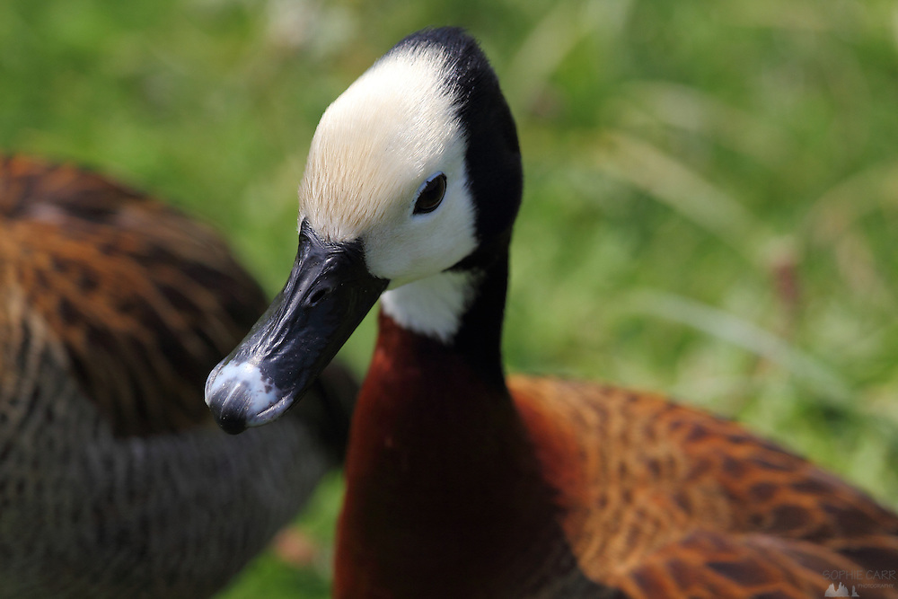 White-faced Whistling Duck, London Wetland Centre, Barnes, London