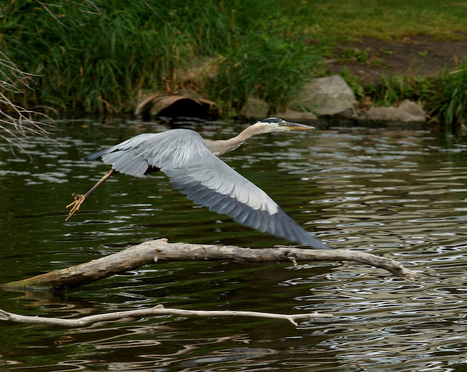 The great blue heron is the largest North American heron.  The primary food source for great blue herons is small fish.  They are commonly found by shores of open water and in wetlands.