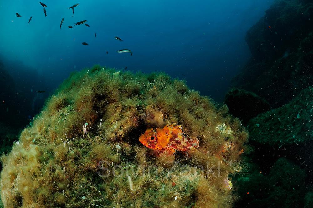 Black scorpionfish (Scorpaena notata) | Braune Drachenkopf (Scorpaena notata)