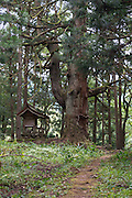 Photo shows Wakamiya Shrine next to a large cedar in the grounds of Heisenji Shrine in Katsuyama, Fukui Prefecture, Japan on Oct. 4, 2016.  ROB GILHOOLY
