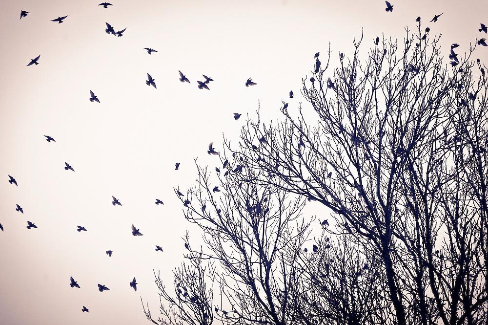 Starlings at dusk, Scotland