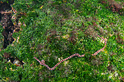 Nemertine worm (Nemertea)<br /> Punta Moreno, Isabela Island<br /> Galapagos<br /> Ecuador, South America