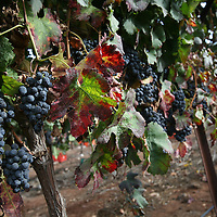 SETTLER'S BOUTIQUE WINE 2009...Merlot grapes at the vineyard during the harvest of Tanya boutique winery in the West Bank Jewish settlement of Ofra, October 2009.