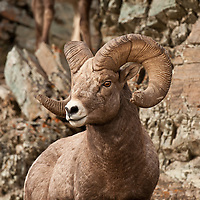 trophy bighorn ram in rocks wild rocky mountain big horn sheep