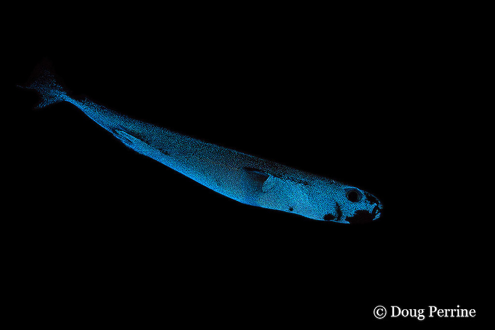 pygmy shark, Euprotomicrus bispinatus (c, dc), bioluminescing ( glowing in the dark ); this is one of the smallest species of sharks; this specimen about 6 inches  (16 cm) long; belongs to family Etmopteridae ( lantern sharks ) in order Squaliformes ( dogfish sharks ); live in deep water by day (to at least 1300 ft) and may rise to surface at night, Kona, Hawaii ( Central Pacific )