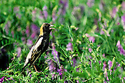 Bobolink in vetch during spring migration - Mississippi.