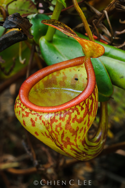 Pitcher plant (Nepenthes pitopangii). Central Sulawesi, Indonesia.