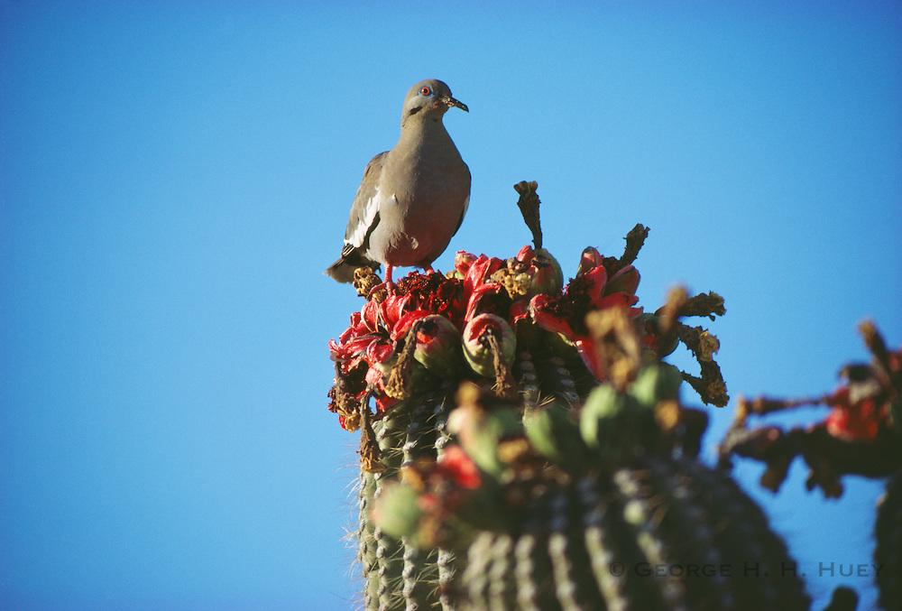 350102-1070~ Copyright: George H. H. Huey ~ White winged dove eating ripe saguaro cactus fruit. Sonoran Desert, Arizona.