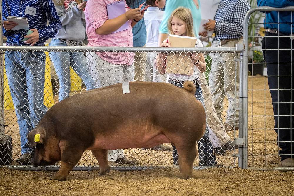 A pig being judged in a contest at the Maryland state fair.