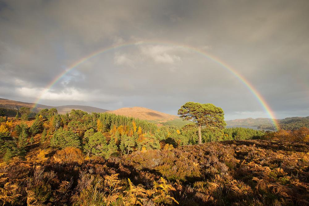 Rainbow over Scot's pine tree, Glen Affric, Scotland