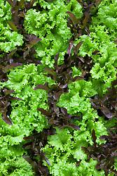 Lettuce 'Black Seeded Simpson' and 'Solix'. Lactuca sativa