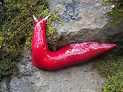 """Giant, Squishy, Fluorescent Pink Slug Found in Australia<br /> <br /> Looking like it would make great salmon bait, a giant pink slug measuring at a whopping 20 cm long (7.8 inches) long, has recently been identified high in the mists that shroud Mount Kaputar, in New South Wales, Australia.<br /> That thing's got to be poisonous as all hell… It probably pees a ricin-acid mix whose vapors melt human bones.<br /> Michael Murphy, a ranger with the National Parks and Wildlife Service, was one of the first to get an up close look at this remarkable creature, which was only identified just recently.<br /> """"As bright pink as you can imagine, that's how pink they are,"""" he added, noting that each night they crawl up trees in large numbers to feed on mold and moss.<br /> ut wait, there is more… giant pink slugs aren't the only squishy inhabitants unique to that particular mountaintop. Yup you guessed it… Carnivorous, cannibal land snails also roam the same mountaintop in search of their vegetarian victims.<br /> """"We've actually got three species of cannibal snail on Mount Kaputar, and they're voracious little fellas,"""" says Murphy. """"They hunt around on the forest floor to pick up the slime trail of another snail, then hunt it down and gobble it up.""""<br /> ©Michael Murphy/Exclusivepix"""