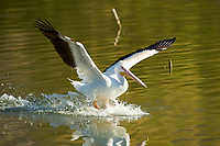 American White Pelican (Pelecanus erythrorhynchos) makes a landing on Lake Chapala, Jocotopec, Jalisco, Mexico