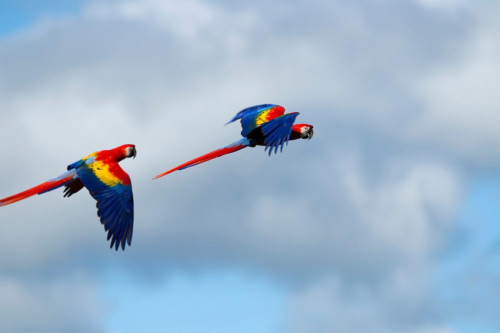 Costa Rica, Guanacaste Province, Cañas, Close-up  of Scarlet Macaws (Ara macao) in flight