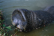 Caribbean Manatee<br /> Trichechus manatus<br /> Georgetown Zoo, GUYANA   South America<br /> RANGE: West Indies, N & S America